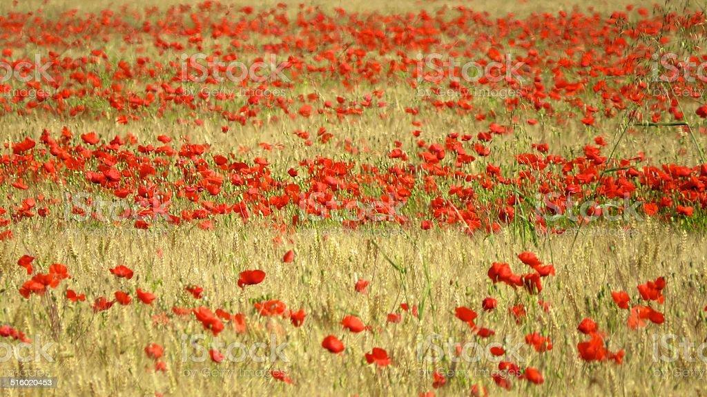 Flanders fields stock photo