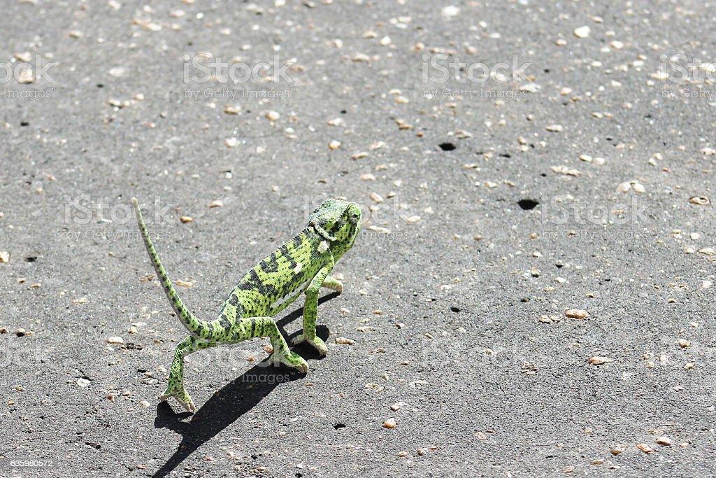 Flap Neck Chameleon (Chamaeleo dilepis) stock photo