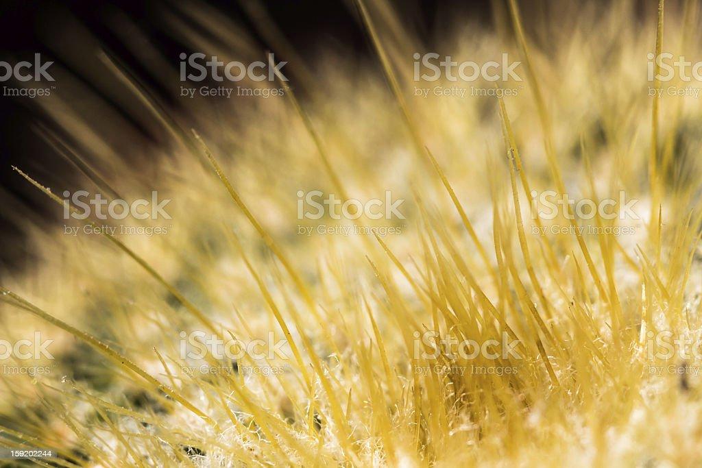 Flaring Cactus royalty-free stock photo
