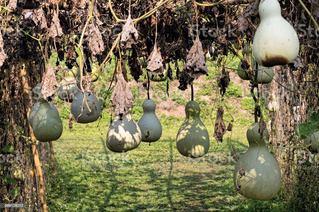Flaschenkürbis im Garten stock photo