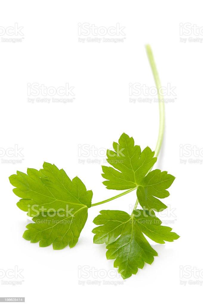 flat leaf parsley isolated stock photo