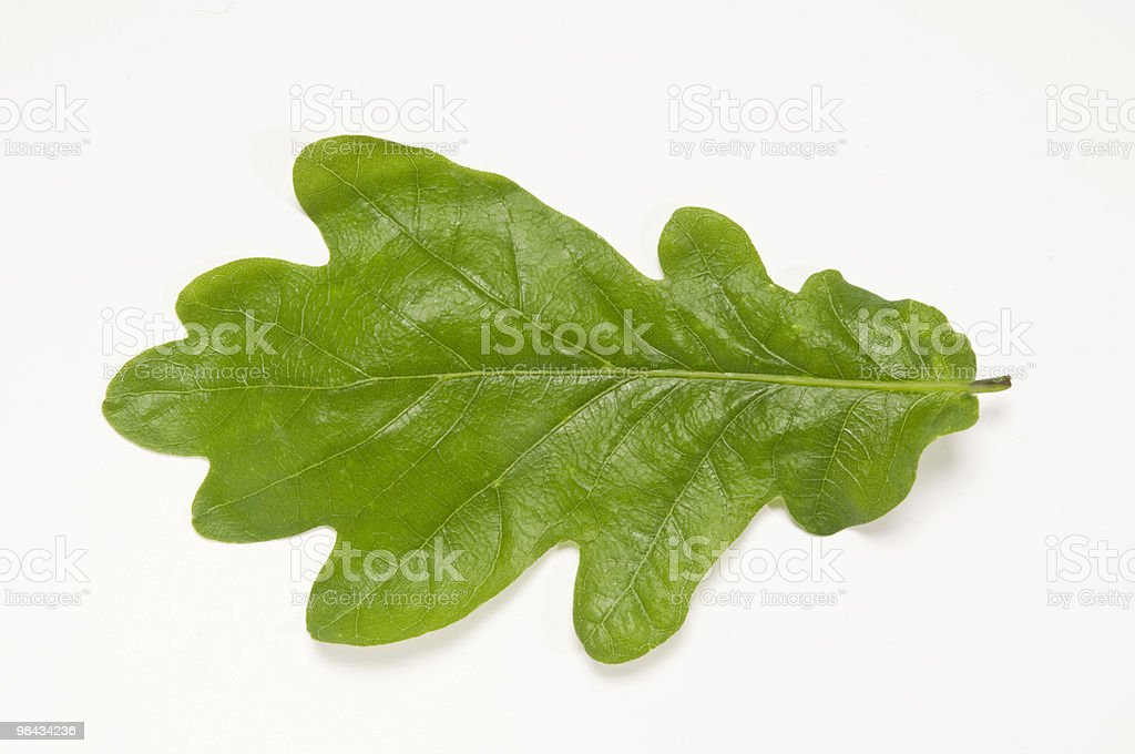 Flat Oak Leaf royalty-free stock photo
