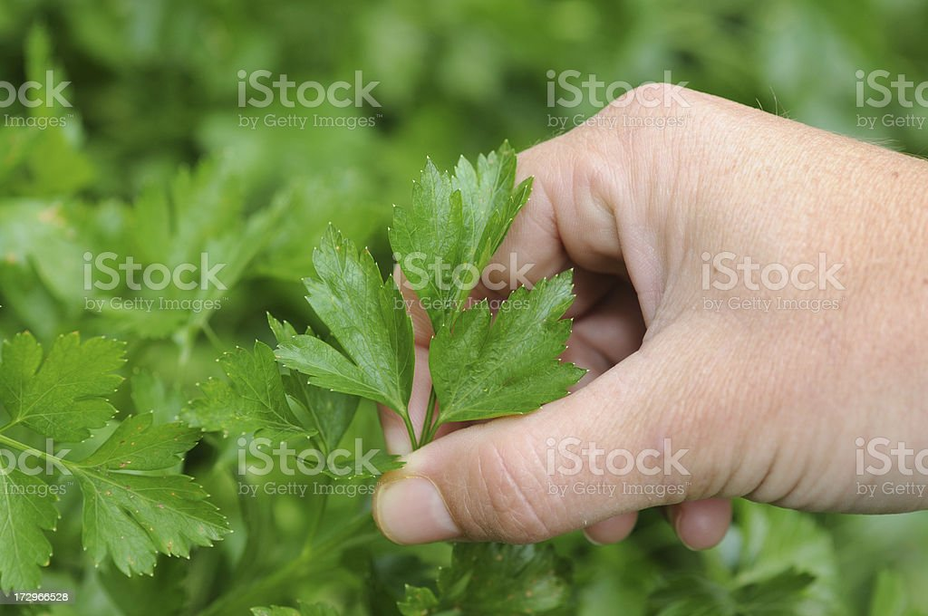 Flat Parsley royalty-free stock photo