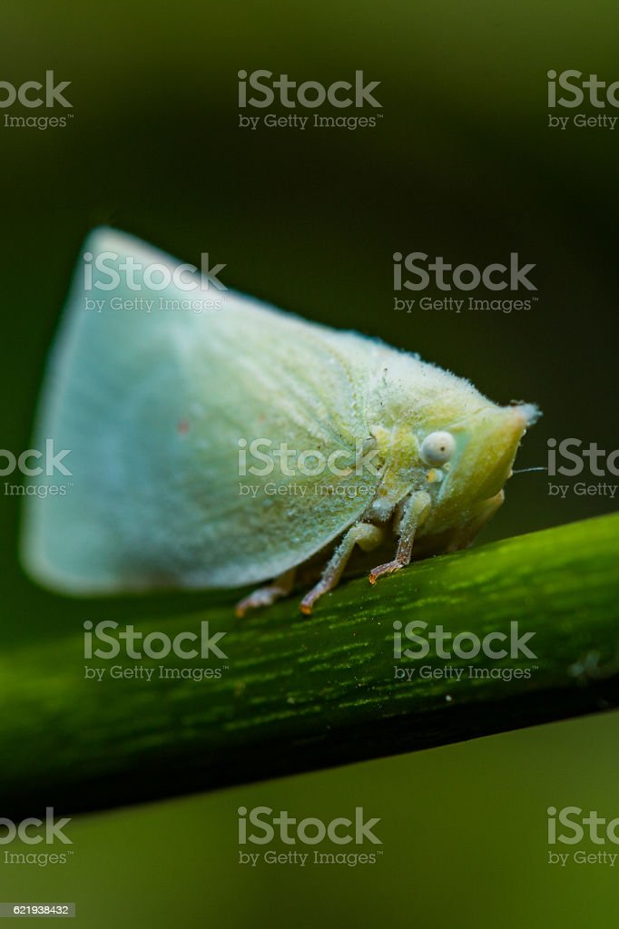 Flatid Planthopper stock photo