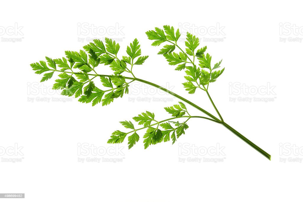 Flat-leaved Parsley stock photo