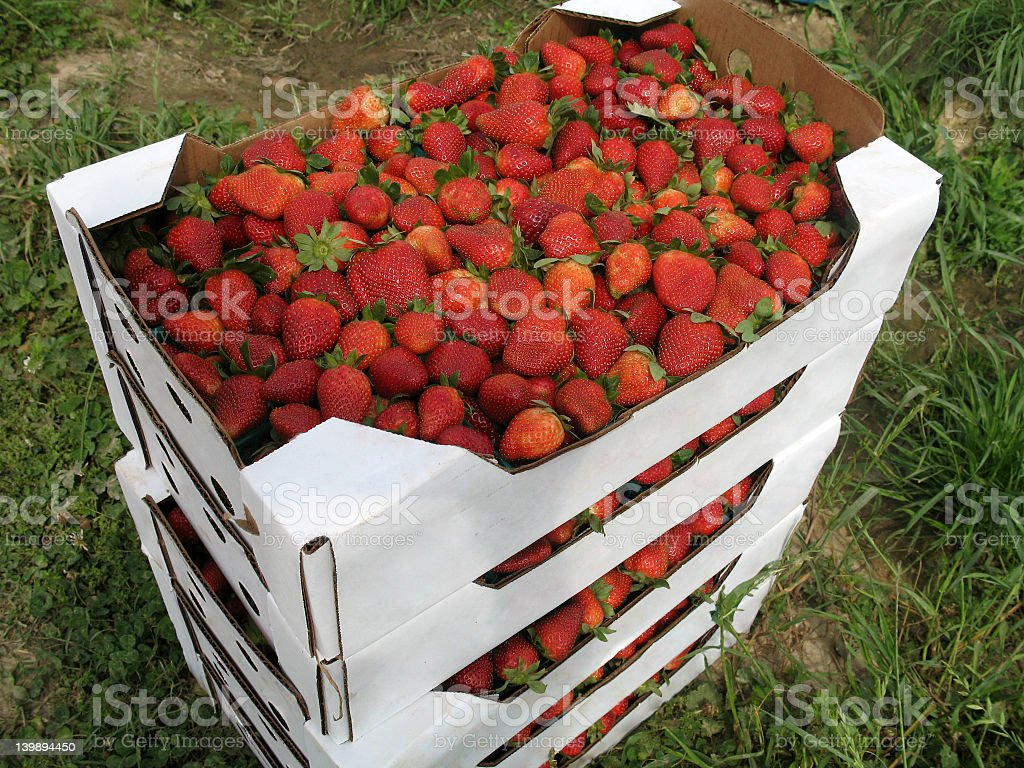 Flats of Strawberries royalty-free stock photo