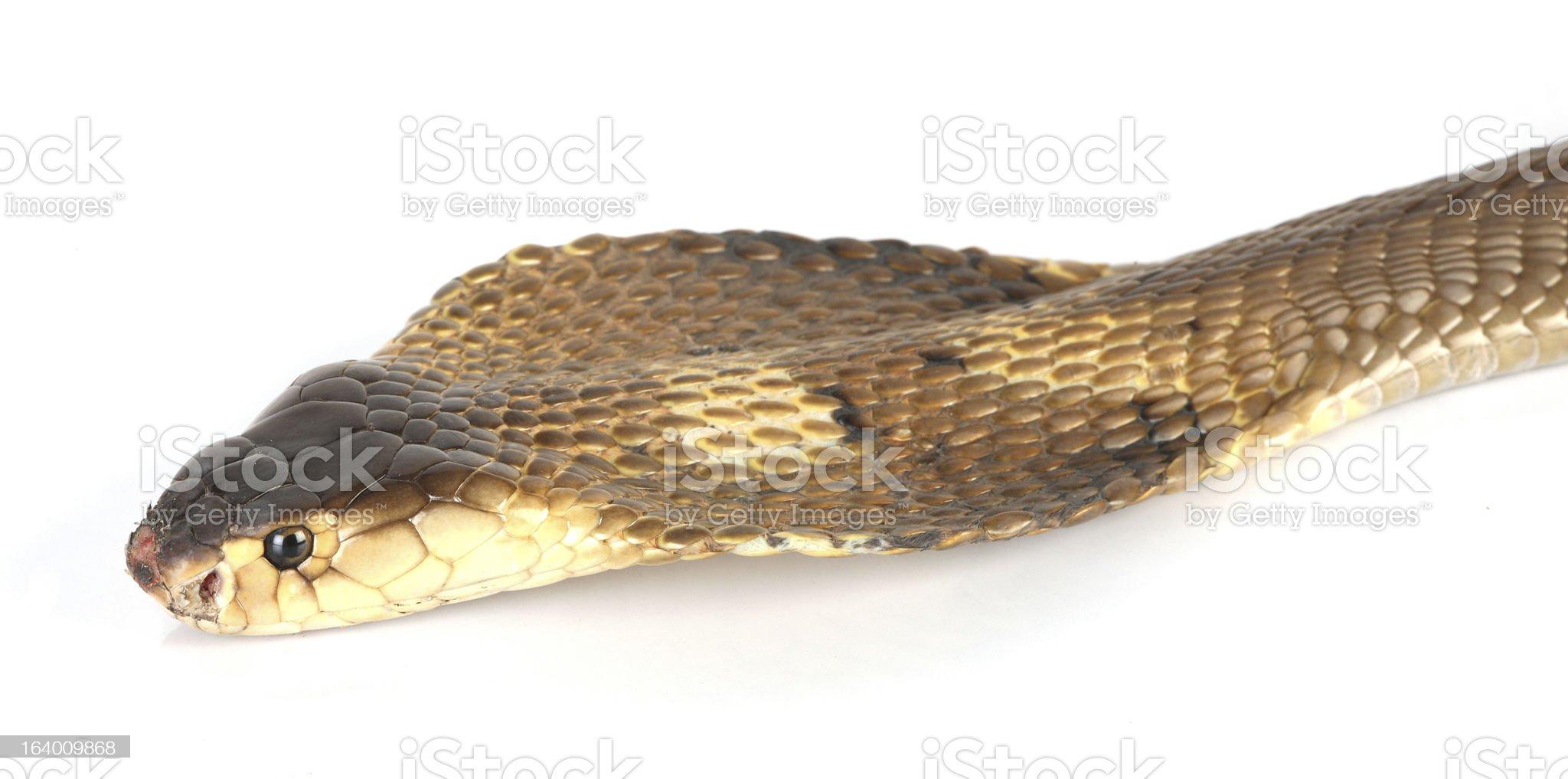 Flattened cobra on white royalty-free stock photo