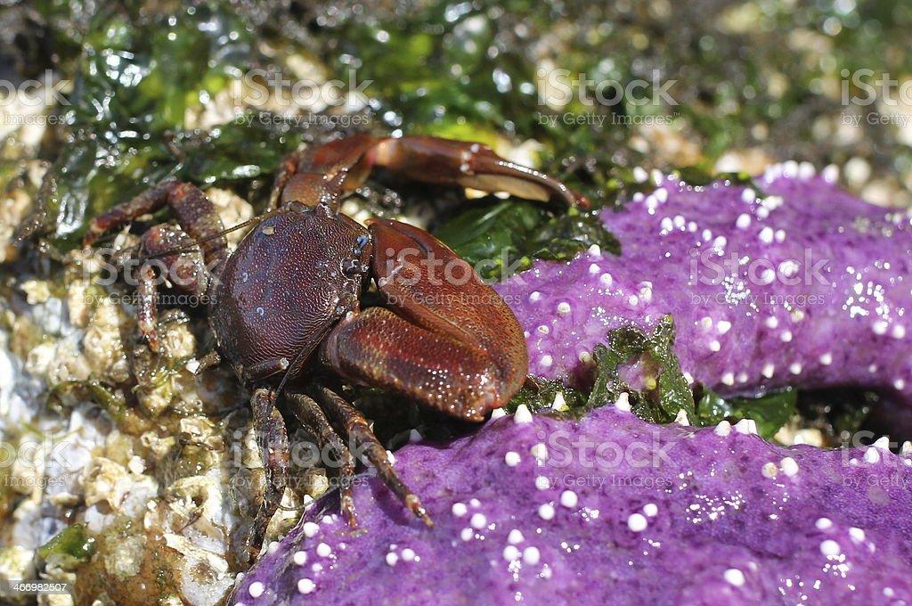 Flattop Crab with Ochre Star stock photo