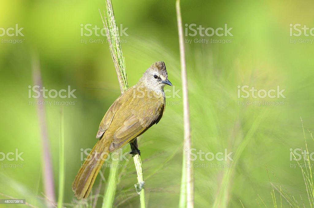 Flavescent Bulbul from Thailand stock photo