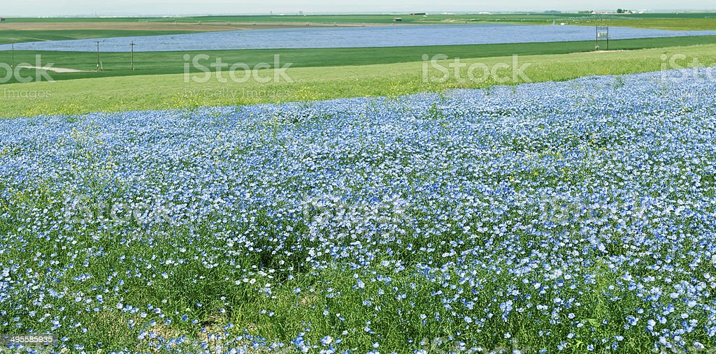 Flax and wheat fields in northeastern Oregon stock photo