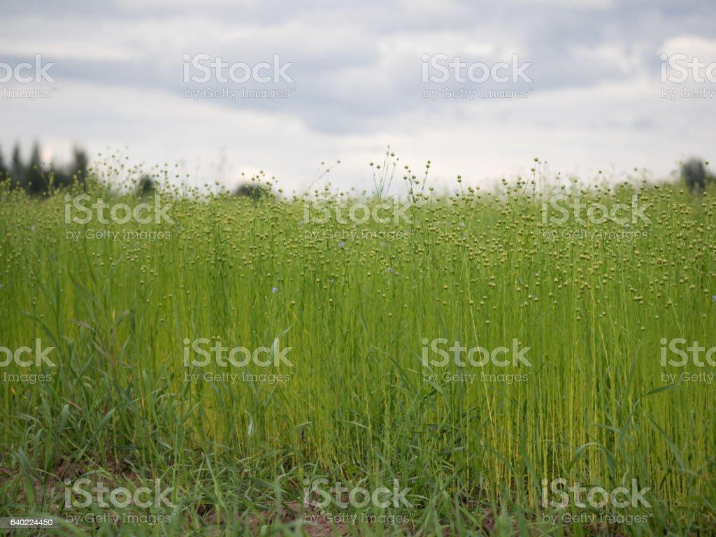 Flax field. Blue flowers stock photo