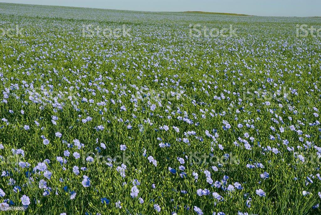 flax field stock photo