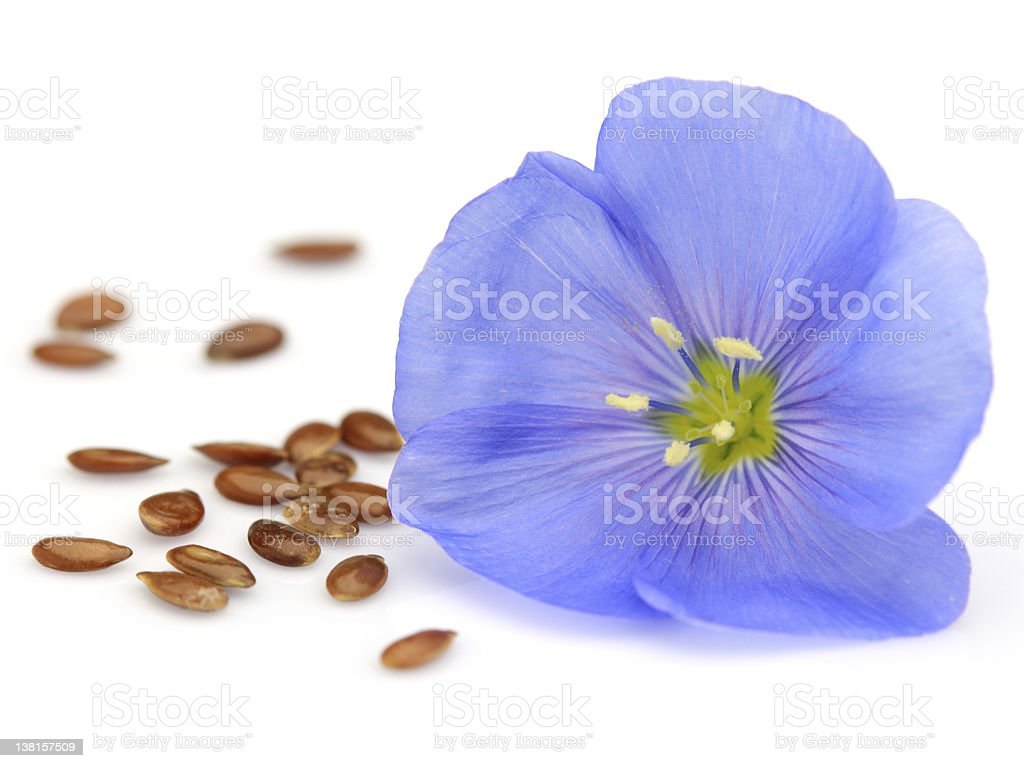 A flax flower and flax seeds on a white background stock photo