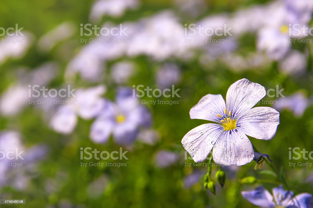 Flax (linen) flowers stock photo
