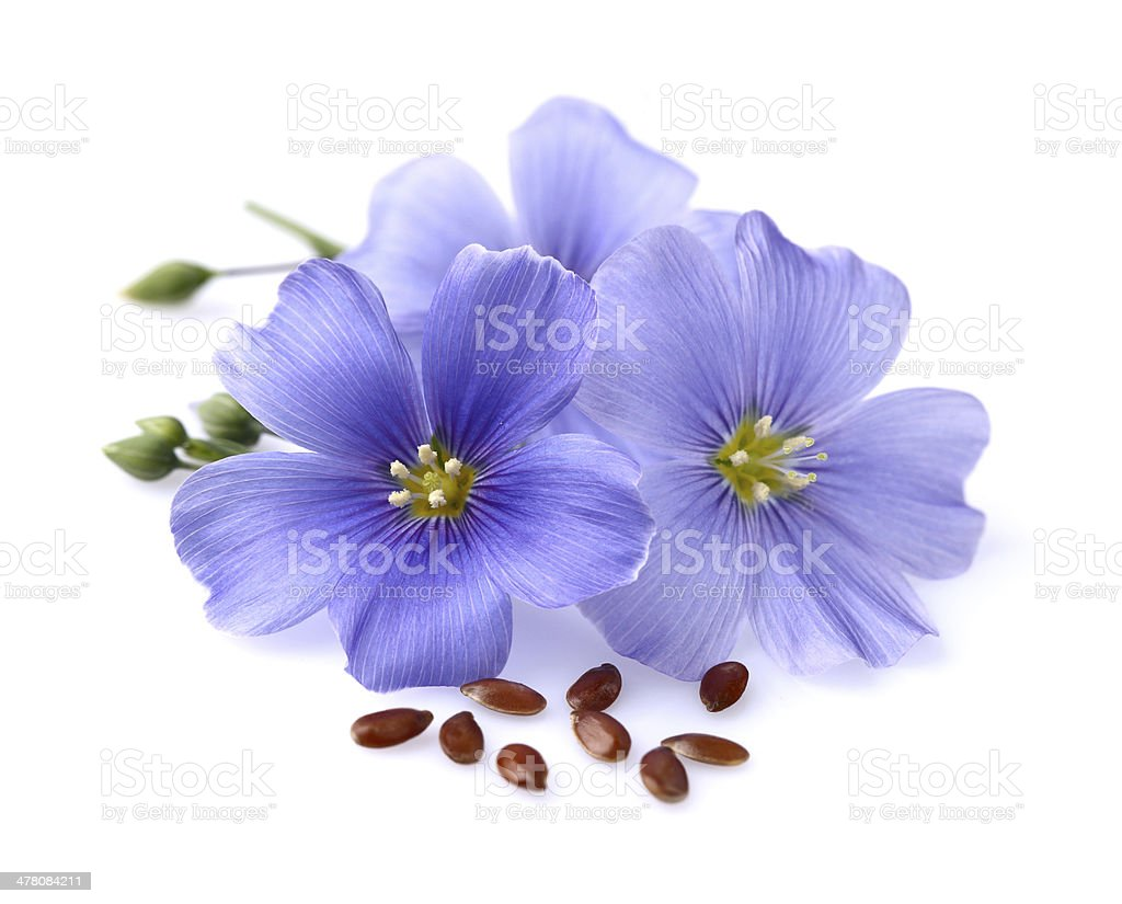 Flax flowers with seeds stock photo