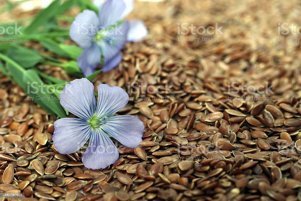 flax from blue flowers on seeds stock photo