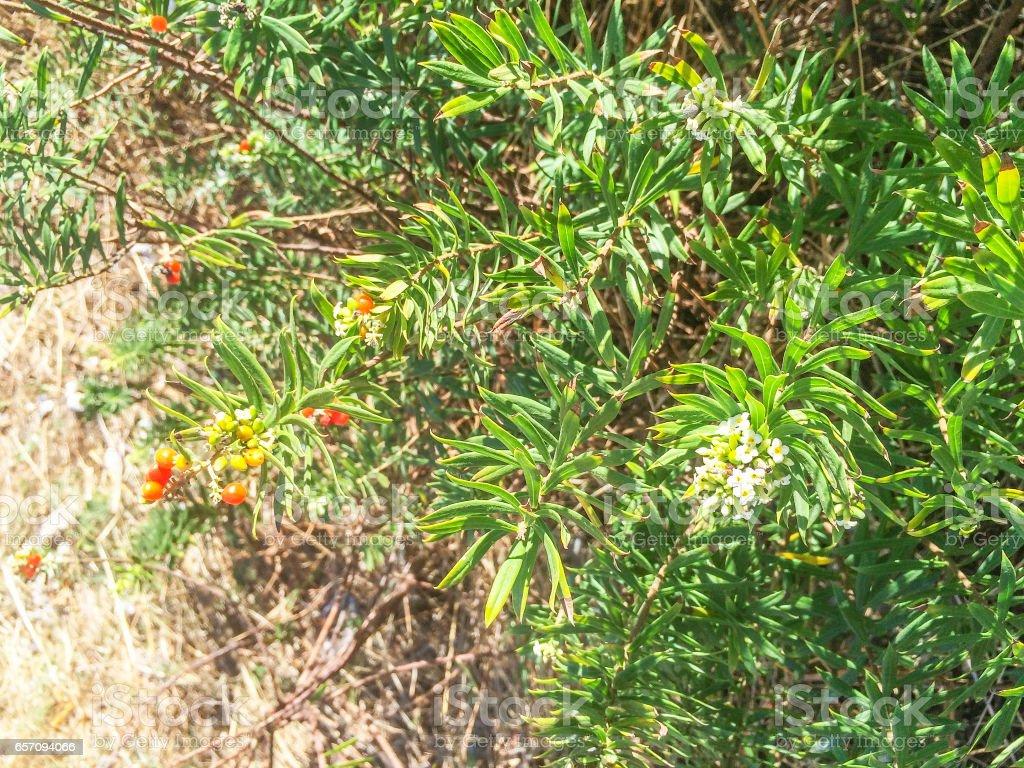Flax-leaved daphne gnidium stock photo