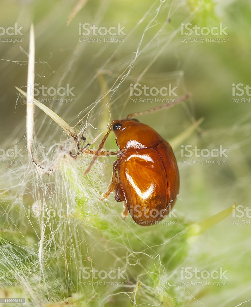 Flea beetle (Sphaeroderma testaceum) sitting on thistle stock photo
