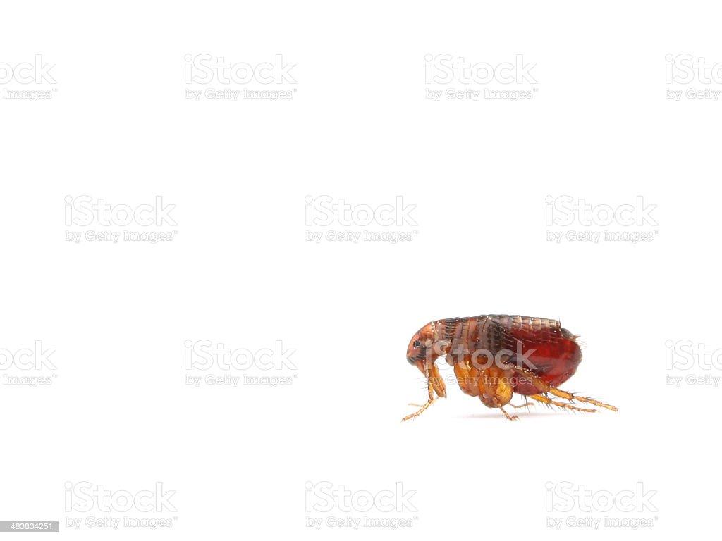 Flea stock photo