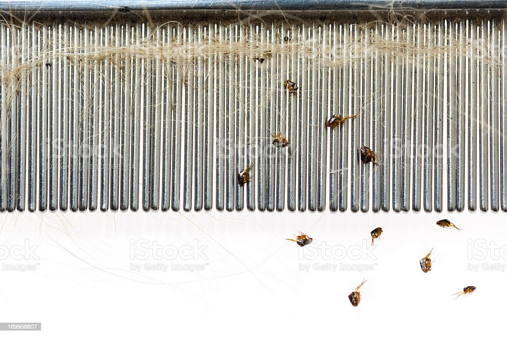 Fleas falling from a dog hair comb  stock photo