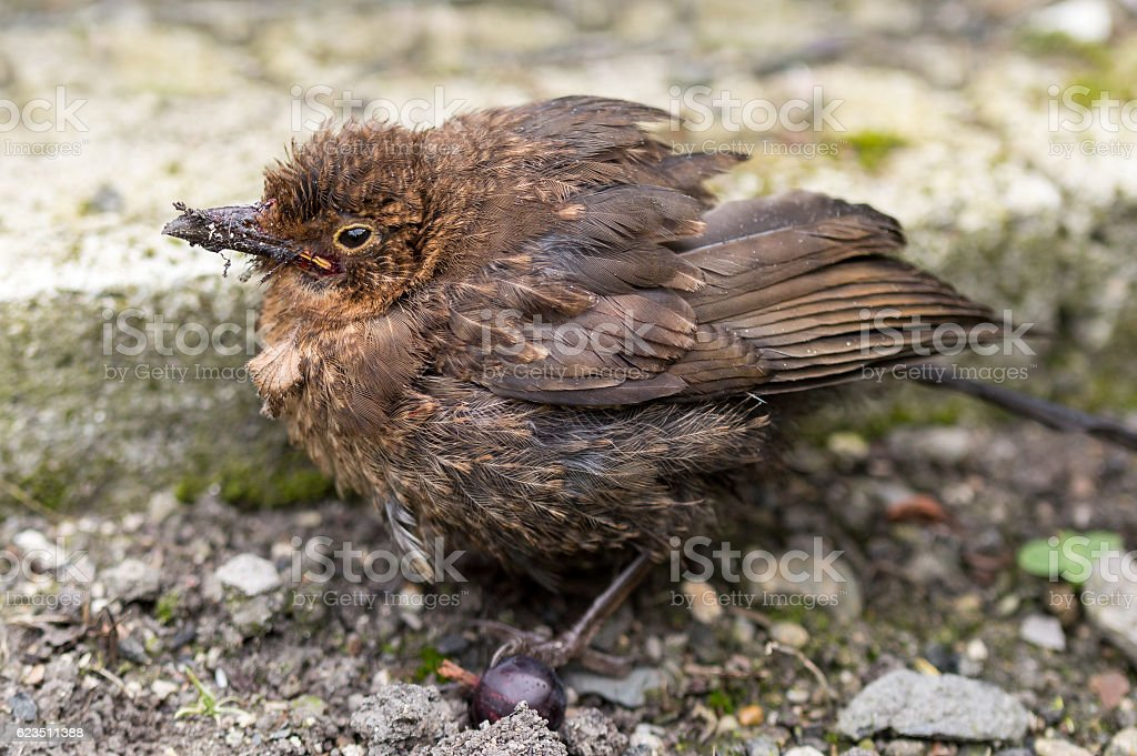 Fledgling Blackbird fatally wounded from cat attack. stock photo