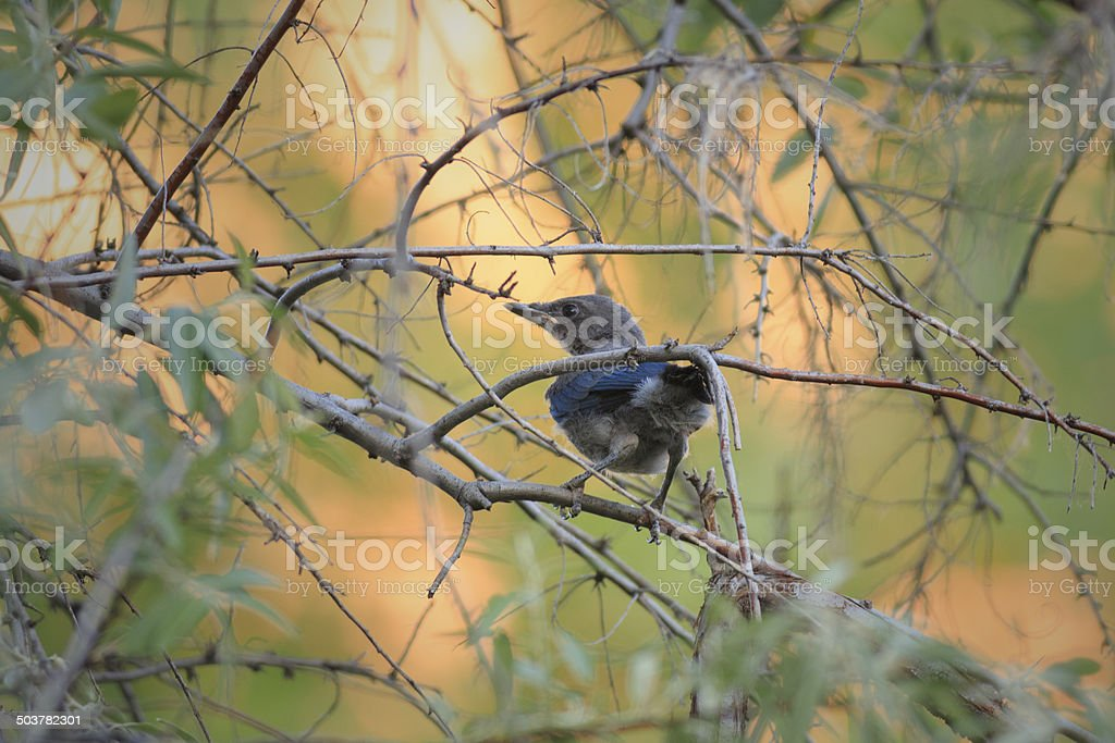 Fledgling Blue Jay royalty-free stock photo