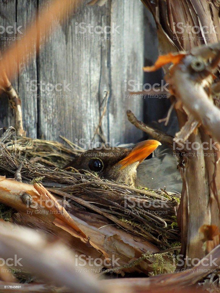 fledgling stock photo
