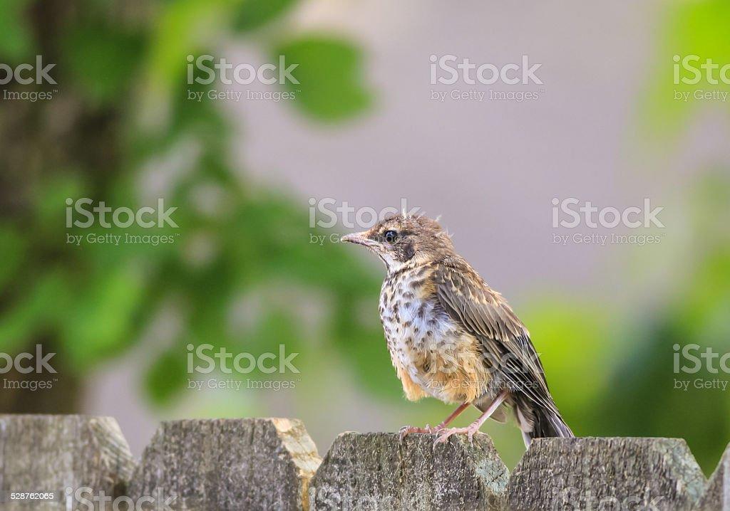 Fledgling Robin (Turdus migratorius) stock photo