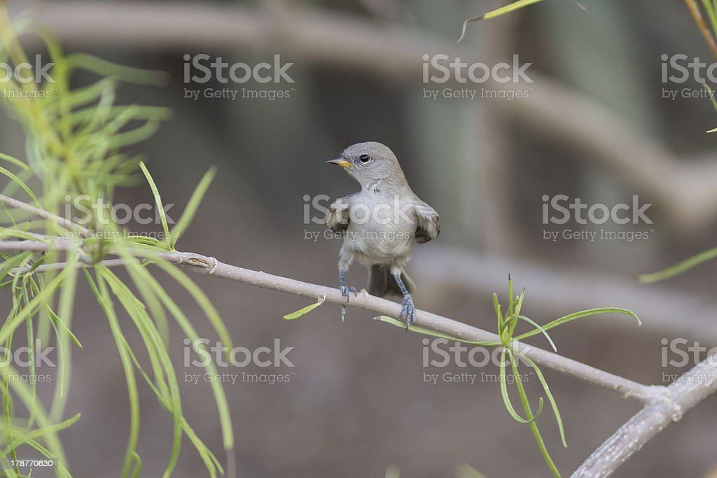 Fledgling Verin Looks Right royalty-free stock photo