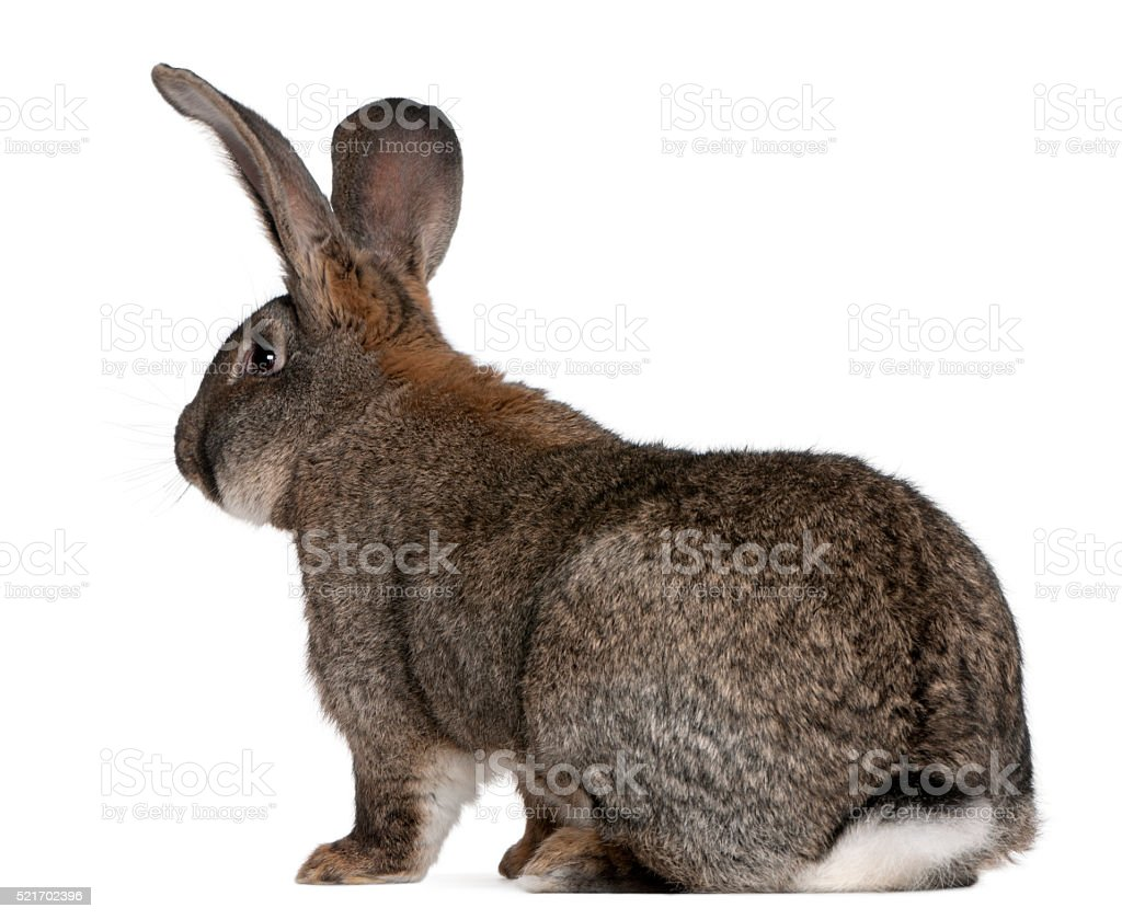 Flemish Giant rabbit in front of white background stock photo