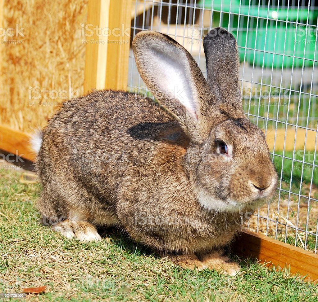 Flemish giant rabbit in my garden stock photo