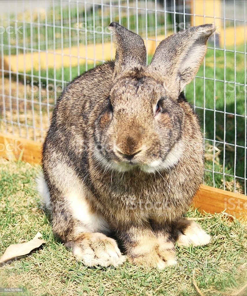 Flemish giant rabbit is sitting in my garden stock photo