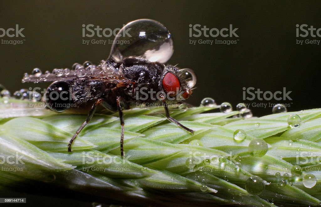 Flesh fly in dew stock photo