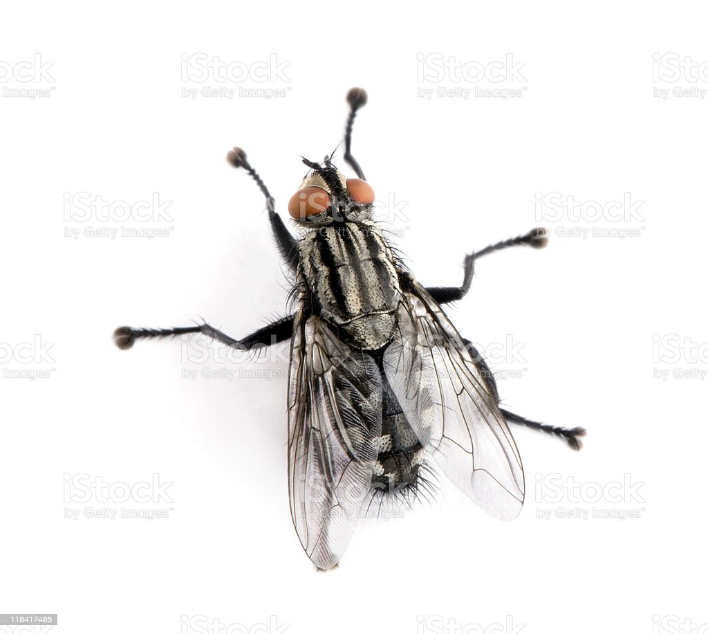 Flesh fly in front of white background, studio shot royalty-free stock photo