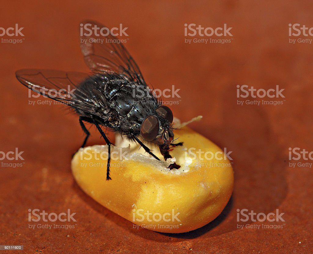 Flesh fly on a corn seed 1 royalty-free stock photo