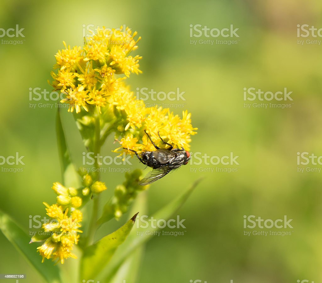 Flesh fly on yellow flower stock photo