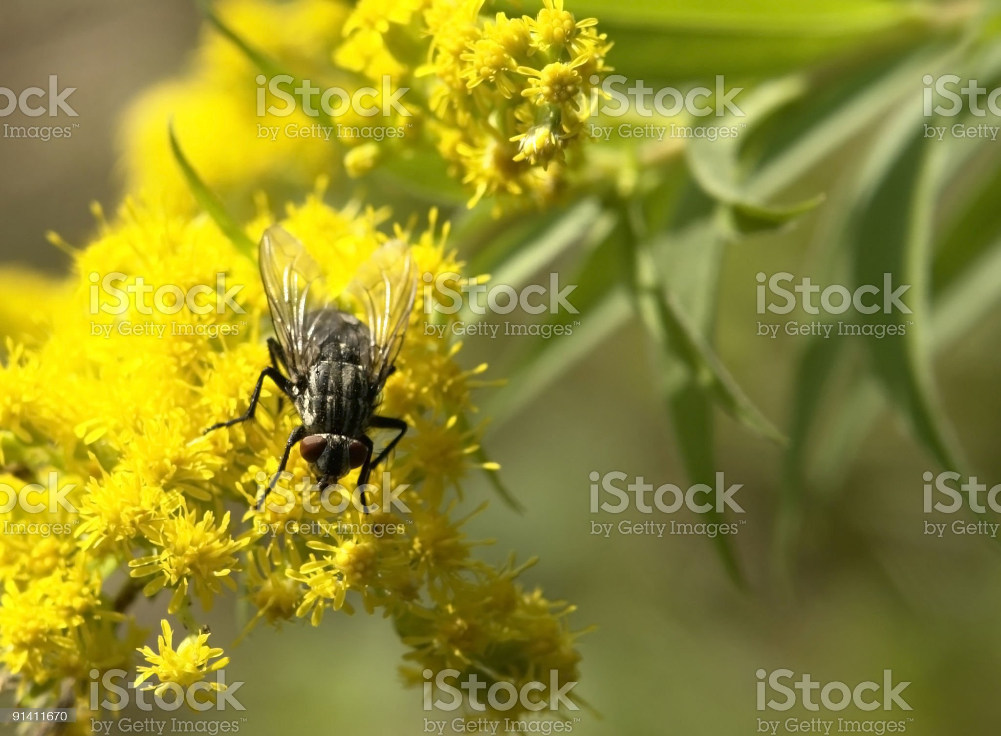 flesh fly on yellow flower royalty-free stock photo