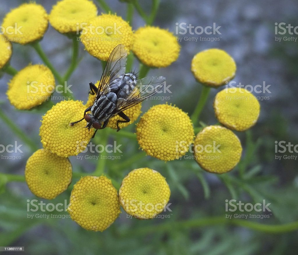 flesh fly on yellow flowers royalty-free stock photo