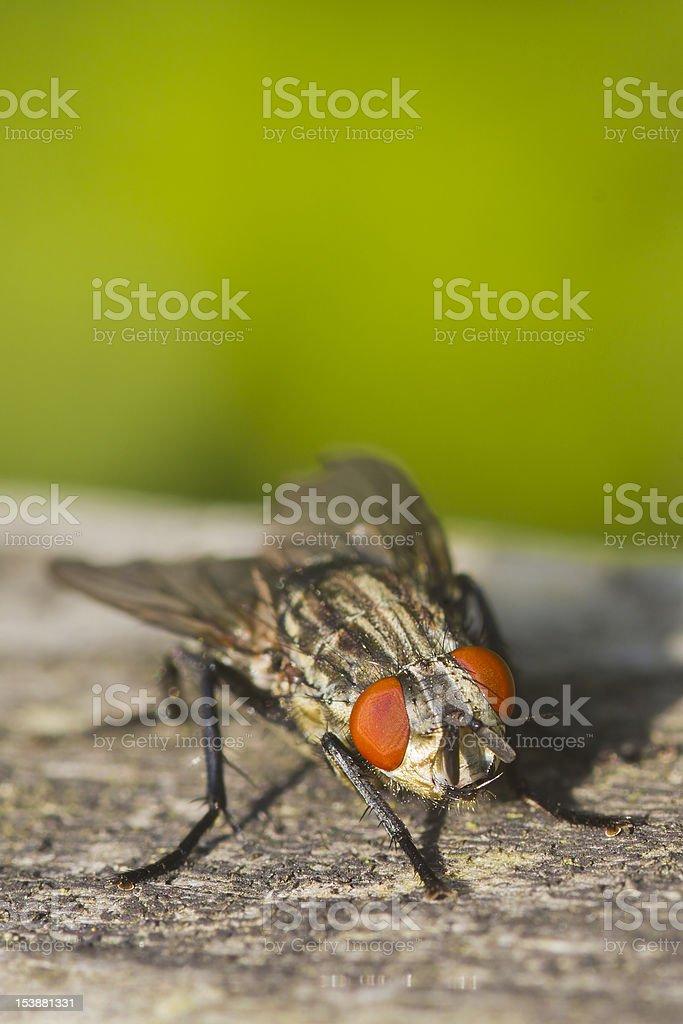 Flesh Fly (Sarcophaga bercaea) royalty-free stock photo