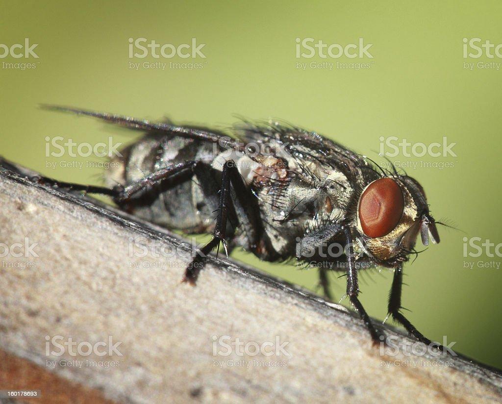Flesh Fly (Macro) royalty-free stock photo