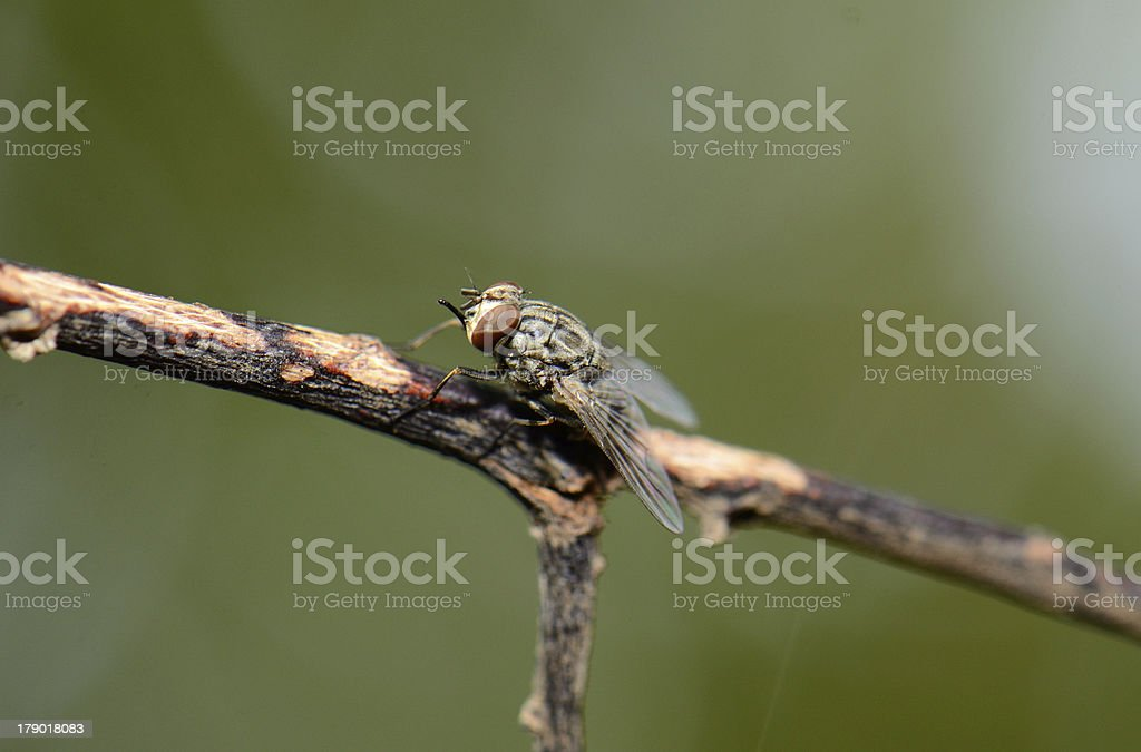 flesh fly royalty-free stock photo