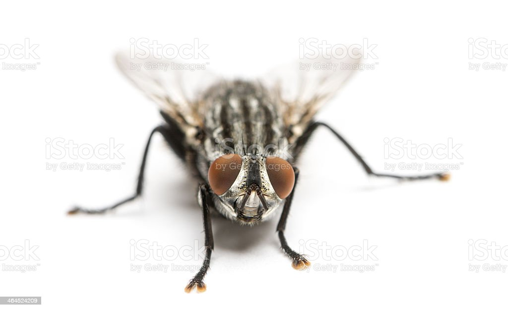 Flesh fly viewed from up high, Sarcophagidae, isolated on white stock photo