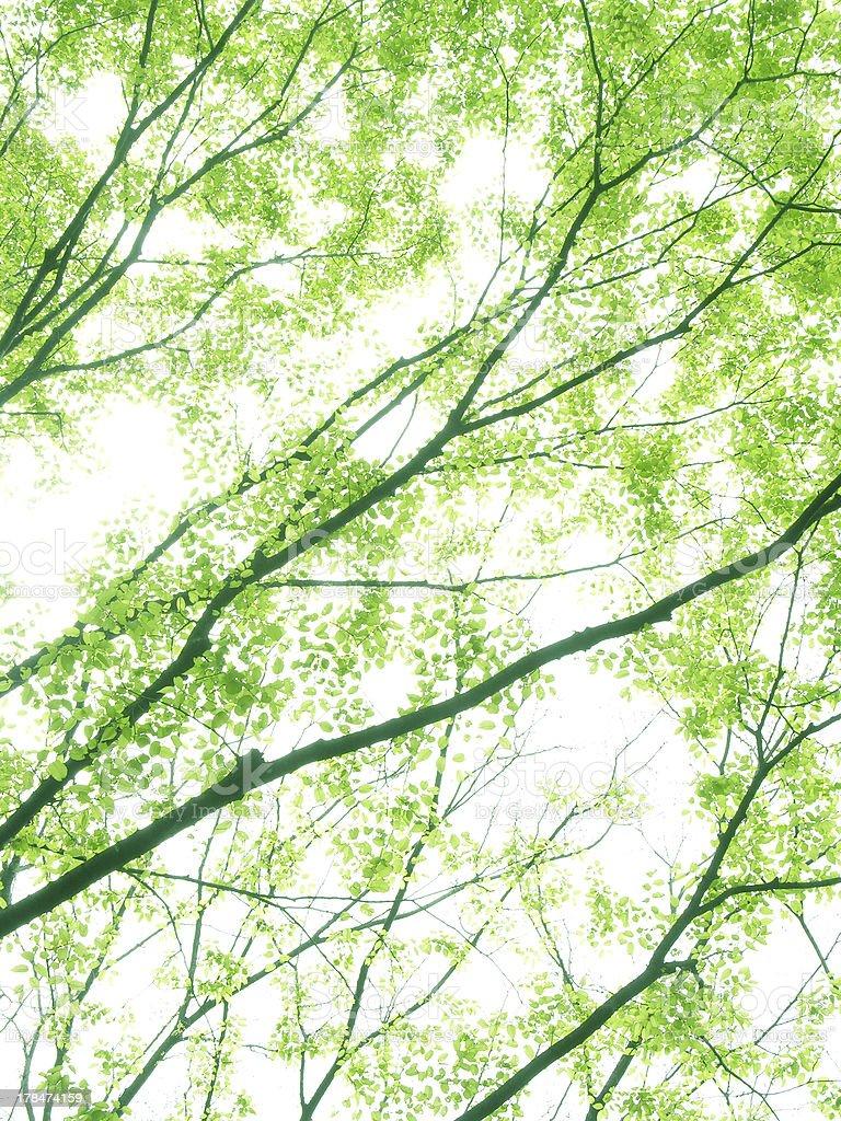 Flesh green Treetop of Japanese zelkova royalty-free stock photo