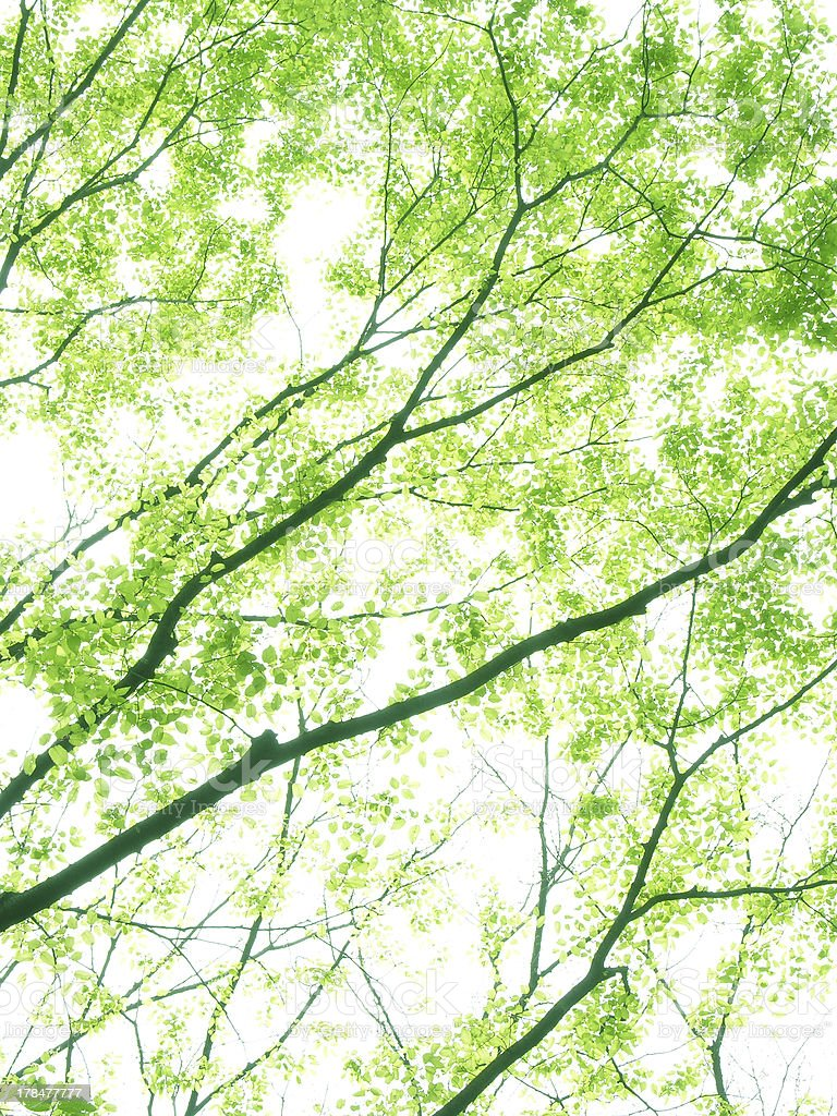 Flesh green Treetop of Japanese zelkova royalty-free stock photo