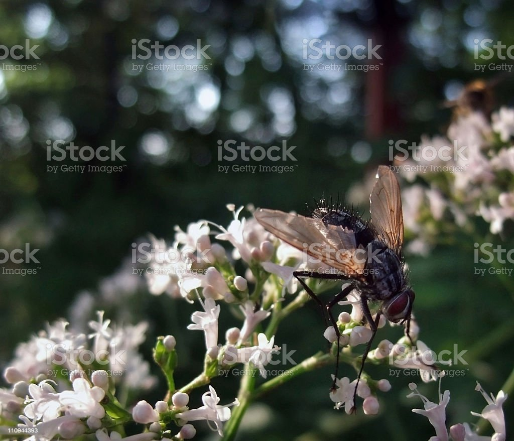 flesh-fly on sunny flowers royalty-free stock photo