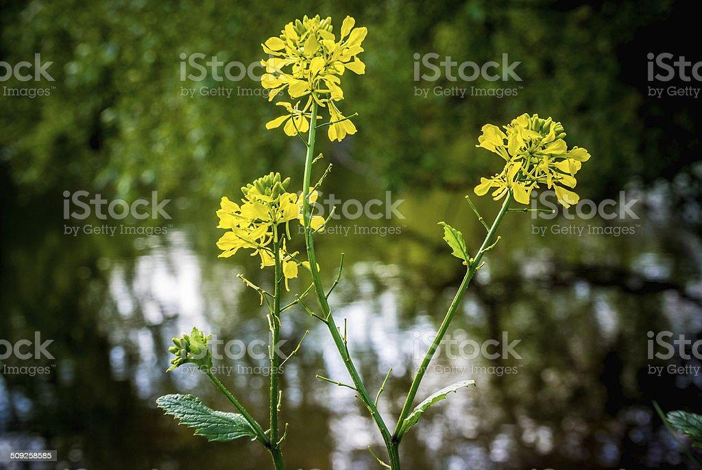Fleur de Colza, Fleur, Jaune stock photo