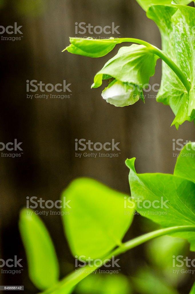 Fleur de haricot mange-tout stock photo