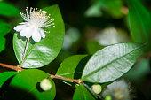 fleur de myrte