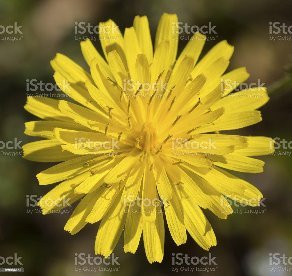 Fleur de pissenlit stock photo