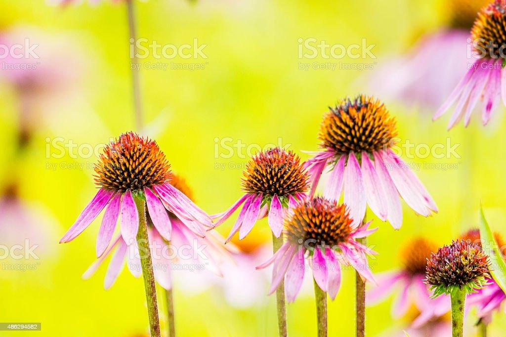 Fleurs échinacées, horizontale stock photo